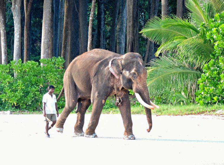 74.Island Havelock. Elephant on Beach